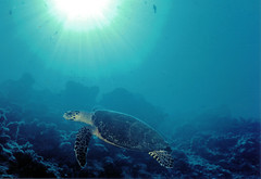 Underwater Photos - Green Sea Turtle, Sipadan, Malaysia (Lao Wu Zei) Tags: nature underwater photos turtle scuba diving malaysia 200views favourite sipadan  marinelife nikonos