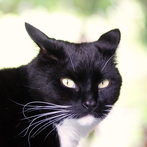 Gato con mirada enojada