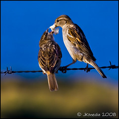 Sparrows (JKmedia) Tags: blue sky yellow bread wire feeding sparrow crumbs barbed fledgling gorse fench eveningsunlight ef70300mmf4556isusm mywinners platinumphoto 15challengeswinner vosplusbellesphotos againstabluesky thepinnaclehof pregamesweepwinner tphofweek43
