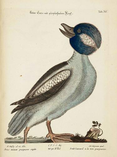 14- Pato de cabeza purpura