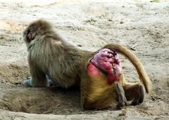 Must be somewhere.... (Marcel Berendsen - The Netherlands) Tags: animal zoo monkey wildlife nederland thenetherlands brabant beeksebergen hamadryasbaboon papiohamadryas theworldthroughmyeyes safariparkdebeeksebergen mantelbaviaan fotoweekend2931aug2008