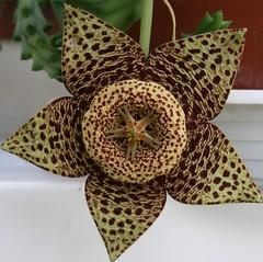 Star... (maya_dragonfly) Tags: flower macro nature star succulent flora olympus greenhouse pottedplant botany starflower orbea orbeavariegata spottedflower summer08 stapela