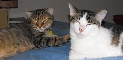 Nina & Victor (Tabbymom Jen) Tags: cats cat happy tabby kitty victor sleepy together kitties nina torbie