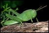 saltamontes verde4 (MoscaCojonera) Tags: macro grasshopper saltamontes orthopteros beautifulmonsters elshowdelmacro
