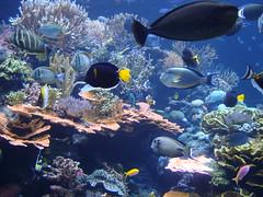 Reef Tank VI (IslesPunkFan) Tags: fish ny newyork coral aquarium tank longisland reef riverhead atlantismarineworld