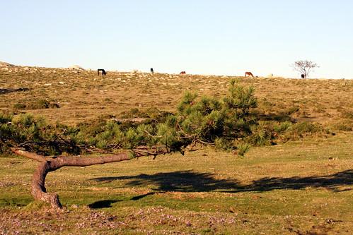 A Groba (liliáceas, pino, vacas e cabalos)