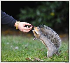 chestnuts (Eye.Ess.Ohh) Tags: uk art nature photo nikon squirrel valentine future anis d300 waseem waseemanis