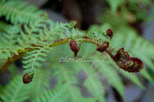 Curly Topped Fern