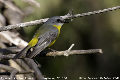 Eastern Yellow Robin (Eopsaltria australis) by aviceda.