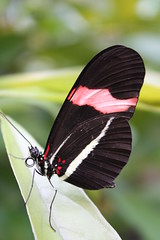 Costa Rican Rainforest Butterfly (The One and Only Jet Guer) Tags:
