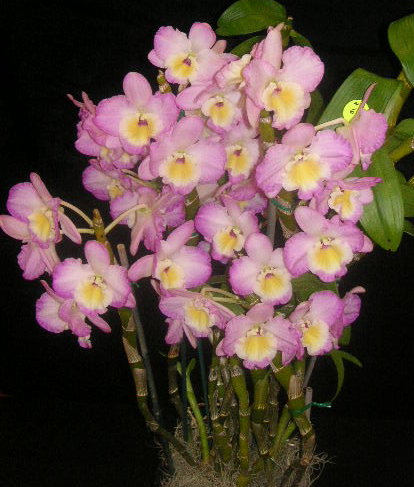 Dendrobium Gion 'Pink Lady'