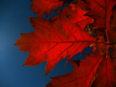 Colorful Autumn Impression (MidiMacMan) Tags: desktop trees red wallpaper color contrast background download colorred midimacman stegeman fauxtography americanartist johnathanjstegeman top20red midimacroman top20redwinner johnathanjosephstegeman johnathanstegeman setcolorred