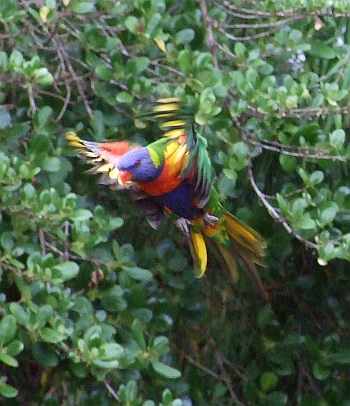 flying rainbow lorikeet 02