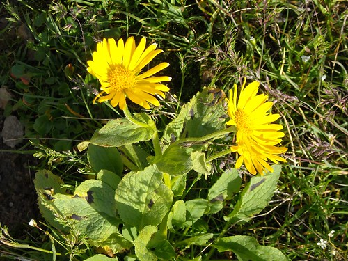Leopards Bane (Doronicum sp.)