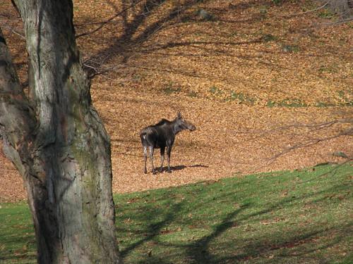 Moose visit