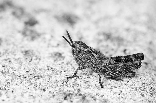 Grasshopper in b&w