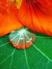 Capuchinha (Jakza) Tags: natureza gotas waterdrops capuchinha florescomestíveis flowers digitalcameraclub wonderfulworldofflowers nanatureza innature frenteafrente tufototureto