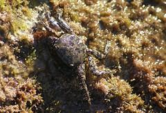 Cangrejo (Sortware) Tags: macro mar playa verano pesca roca platja estiu cangrejo cranc
