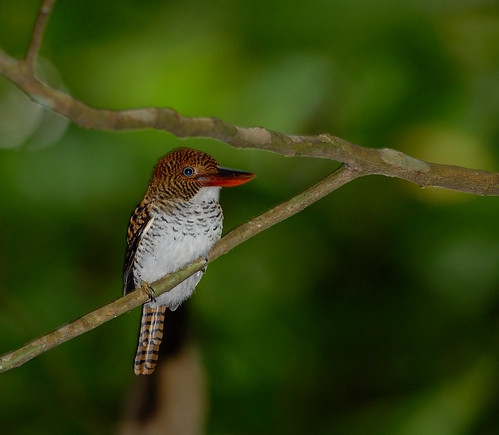 Female Banded Kingfisher-Lacedo pulchella