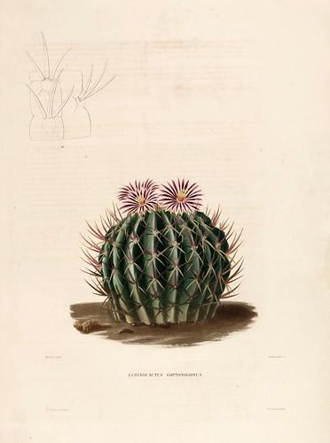010-Echinocactus coptonogonus