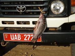 The Ugandan way of transporting Tilapia