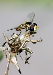 Hover Fly Resting