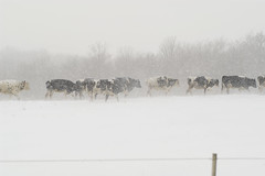 Headed for the Barn (Gary Easter) Tags: winter rural cows snowstorm foggy blizzard