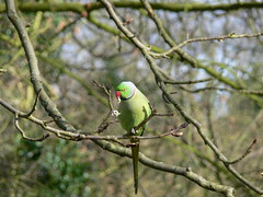 parakeet (Afgil) Tags: bird london lunch alone eating wildlife fastfood parakeet middlesex hounslow britishwildlife hanworth wildbird londonwildlife gardenbird cranepark londonboroughofhounslow londonbird londonparakeet middlesexwildlife