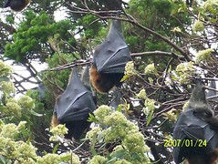 Bats in Sydney Botanical Gardens (wallygrom) Tags: fauna wildlife bat sydney australia nsw bats royalbotanicgardens sydneybotanicalgardens fruitbat rsbg greyheadedflyingfox pteropus pteropuspoliocephalus