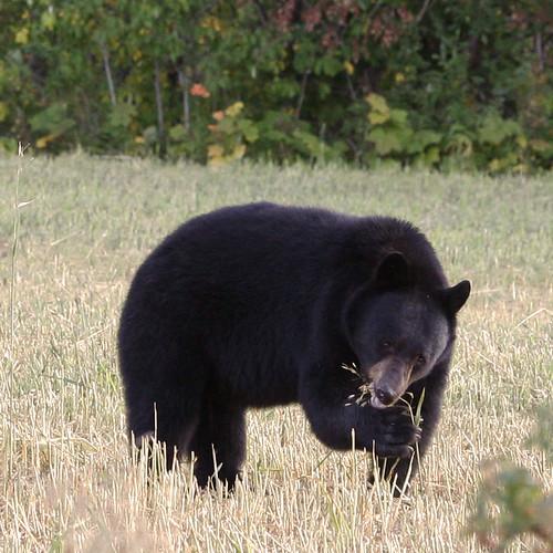 Nuestro oso negro al lado del camino, comiendo granos