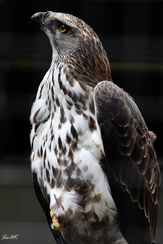 Vigilant @ Bird Park KL, Malaysia
