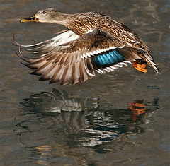 ~ Last Flap ~ (ViaMoi) Tags: canada nature water photography fly duck wings ottawa flight ducks landing mallard waterfowl hen avian naturalist colorphotoaward viamoi 100commentgroup thewonderfulworldofbirds