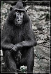 Casual Macaque