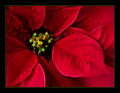 * (maytevidri (out) MDZ) Tags: playing macro closeup spain poinsettia pm mallorca palma vacaciones mediterrneo macromode jugando baleares nochebuena balearicislands decerca balears illesbalears flordepascua islasbaleares sd550 ixus750 flordenochebuena maytevidri modomacro theunforgettablepictures fractalius 20081210002