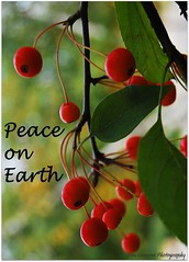 Peace on Earth (Explore #425) (Don Iannone) Tags: christmas red green nature peace berries bokeh explore happyholidays peaceonearth redandgreen seasonsgreetings christmaswish doniannone nikond80camera christmasblessing mayfieldvillageohio