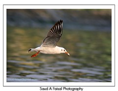 Brown Headed Gull (Saud A Faisal) Tags: color bird river boat seagull waterbird dhaka bangladesh tarminal olddhaka buriganga brownheadedgull burigonga shadarghat keranigong gangkobutor
