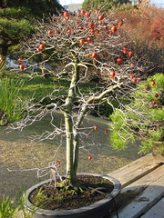 persimmon bonsai