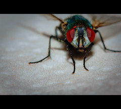 My new pet ... meet Fred (NSHabsfan4life) Tags: pet macro canon buzz fly 60mm hdr bzzzz rebelxsi