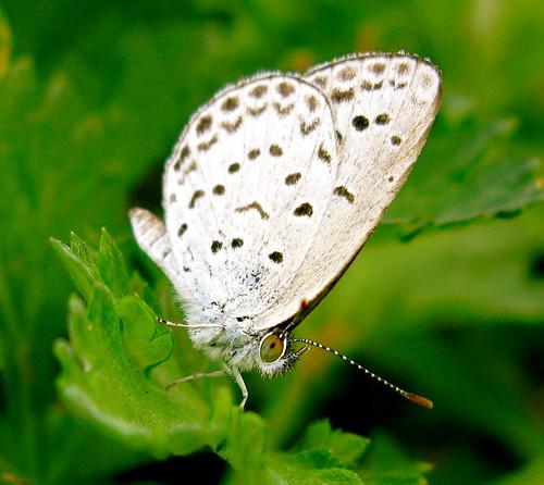 lynx-eyed butterfly