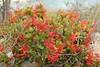 Quintral en flor (Tristerix corymbosus (L.) Kuijt.) (Carlos Ivovic O.) Tags: florachilena loranthaceae quintral floranativadechile cerroelroble tristerixverticillatus
