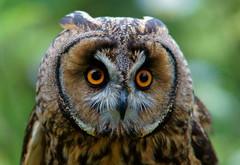 'Archimedes' (Peter G Trimming) Tags: ex wildlife centre sigma surrey 300mm peter owl british trimming dg longeared asio otus archimedes newchapel 2011