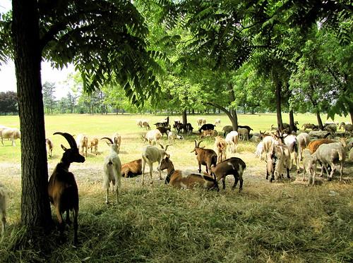 Pascolo al Parco Piemonte  17