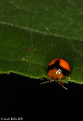 Flea beetle (Chrysomelidae: Alticidae) (gbohne) Tags: macro canon insect indonesia java rainforest beetle insects beetles insekt animalia arthropoda insekten kfer unidentified coleoptera fleabeetles insecta regenwald halimun identified leafbeetles fleabeetle blattkfer taxonomy:class=insecta taxonomy:order=coleoptera taxonomy:family=chrysomelidae taxonomy:phylum=arthropoda geo:country=indonesia 100mmf28canon flohkfer geo:region=asia taxonomy:subfamily=alticinae