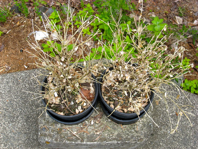 Dead Herb Plants 02