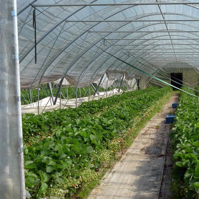 1st strawberries at 'De Vierakker'