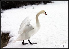 Too cold for angels to fly... (Janiscula) Tags: park uk inglaterra winter england naturaleza white snow cold bird blanco animals unitedkingdom nieve ave gorge animales invierno waterfowl fro essex picnik reinounido grays chaffordhundred chaffordgorgenaturepark
