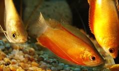 fish tropicalfish honeygourami moonlightgourami