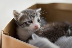 mew (bookgrl) Tags: pet cats baby cute animals furry kitty kittens kitties week3