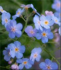 Forget me not (Torsten Reuschling) Tags: blue flower macro small forgetmenot vergissmeinnicht myosotis supershot fantasticflower myosotissylvestris abigfave platinumphoto diamondclassphotographer flickrdiamond