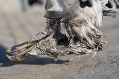 Mr. Birdlington at rest (allankcrain) Tags: shadow bird rotting dead concrete death seagull deadanimal decomposition ritualisticanimalkilling